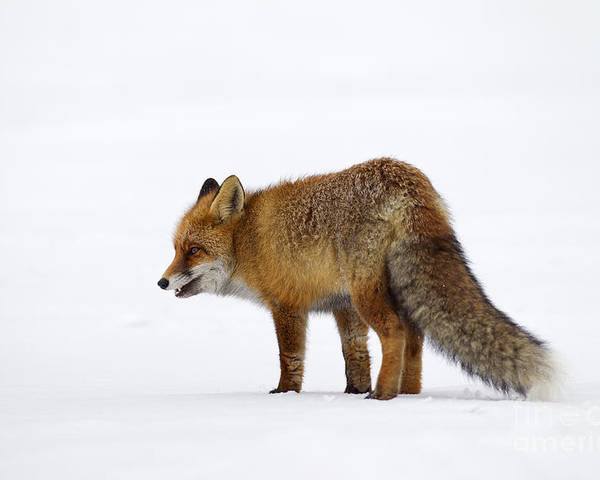 Red Fox Poster featuring the photograph 130201p056 by Arterra Picture Library
