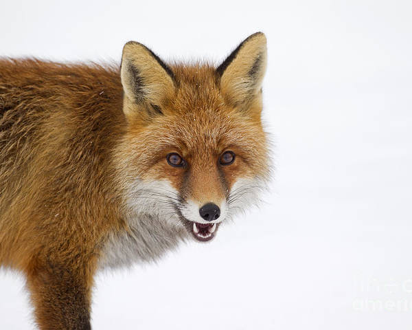 Red Fox Poster featuring the photograph 130201p058 by Arterra Picture Library