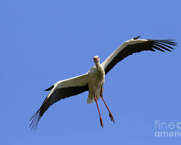White Stork Poster featuring the photograph 130201p267 by Arterra Picture Library