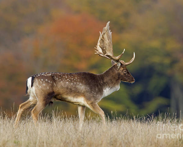Fallow Deer Poster featuring the photograph 130201p289 by Arterra Picture Library