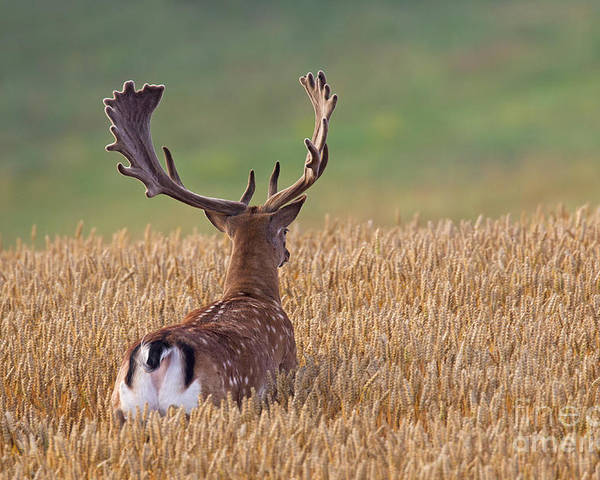 Fallow Deer Poster featuring the photograph 130201p294 by Arterra Picture Library