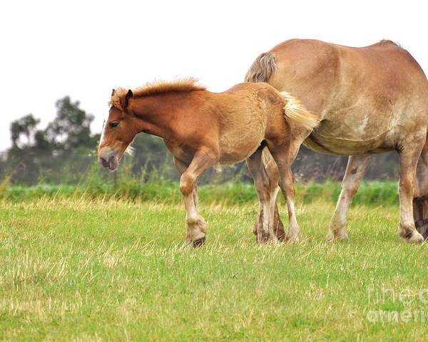 Amish Poster featuring the photograph A Mare And Her Colt by Penny Neimiller