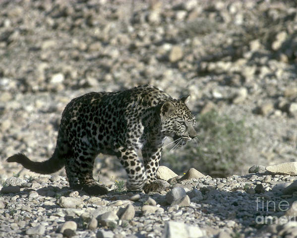 Leopard Poster featuring the photograph Arabian Leopard Panthera Pardus 1 by Eyal Bartov