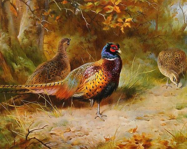 Archibald Thorburn Poster featuring the painting Autumn Covert Pheasants by Archibald Thorburn