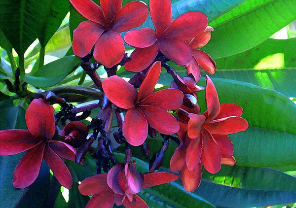 Hawaii Poster featuring the photograph Burgundy Plumeria by James Temple