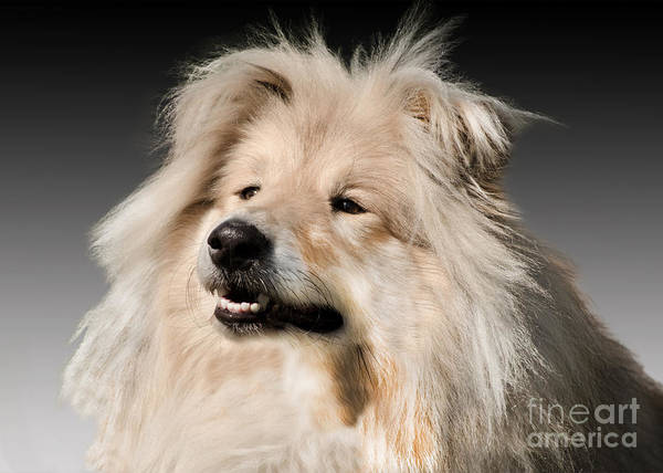 Black Background Poster featuring the photograph Collie Dog by Linsey Williams