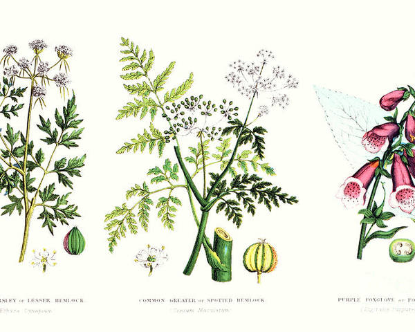 Botany; Botanical; Medicine; Medical; Plant; Flower; Flowers; Toxic Poster featuring the painting Common Poisonous Plants by English School