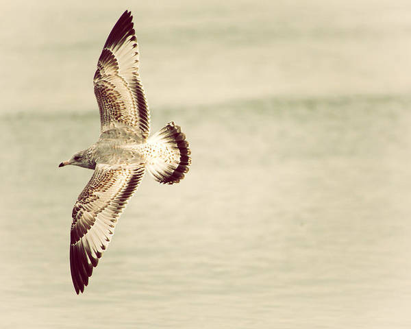 Herring Gull Poster featuring the photograph Herring Gull In Flight by Karol Livote
