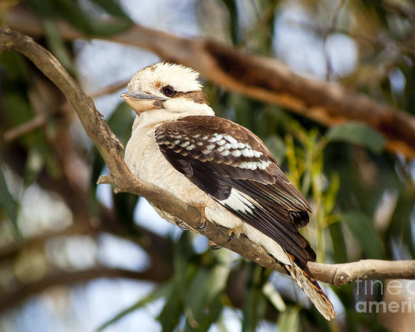 Australia Poster featuring the photograph Kookaburra by Tim Hester
