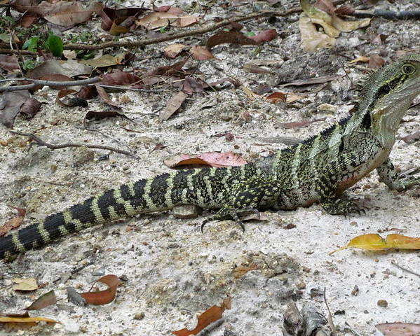 Lizard Poster featuring the photograph Lizard by Joyce Woodhouse