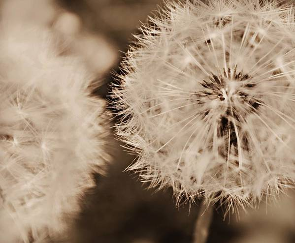 Dandelion Poster featuring the photograph Make A Wish by Candice Trimble