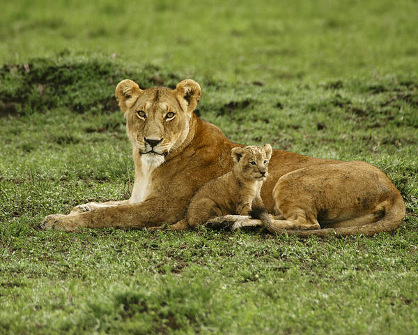 Lion Poster featuring the photograph Mama's Little Baby by Michele Burgess