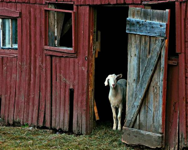 Barn Poster featuring the photograph My Little Friend by Diana Angstadt