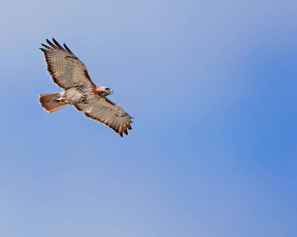 Redtail Hawk Poster featuring the photograph Out Of The Blue by Bill Wakeley