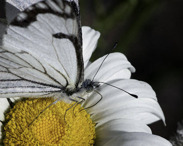 Pine White Poster featuring the photograph Pine White Butterfly by Betty Depee