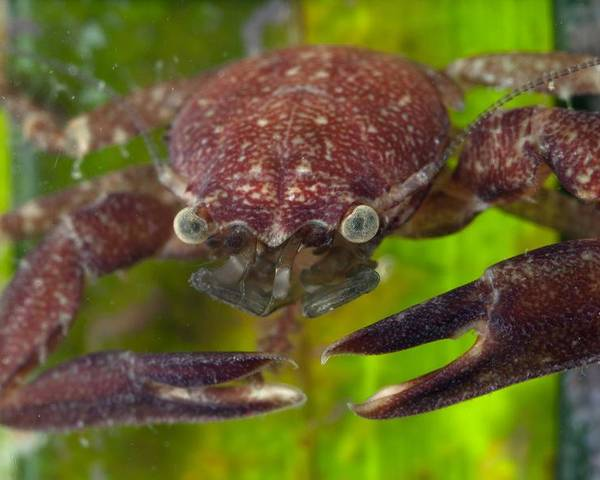 Aquatic Poster featuring the photograph Porcelain Crab On Neptune Grass by Science Photo Library