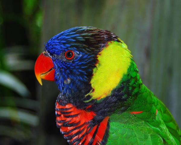 Photograph Poster featuring the photograph Rainbow Lorikeet by Larah McElroy