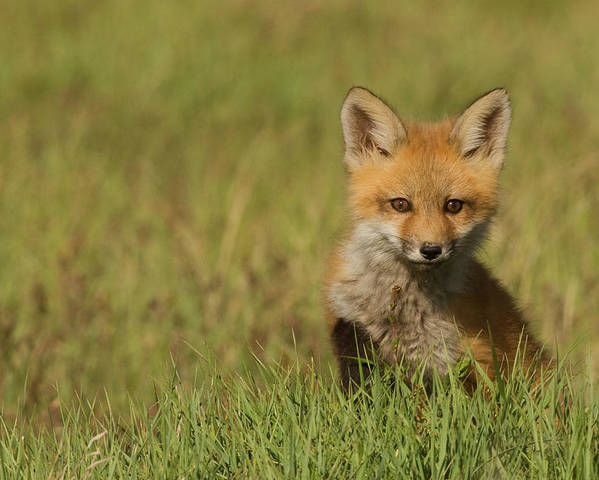 Danita Delimont Poster featuring the photograph Red Fox Kit by Ken Archer