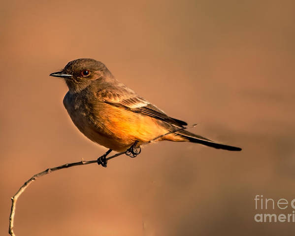 Birds Poster featuring the photograph Say's Phoebe by Robert Bales