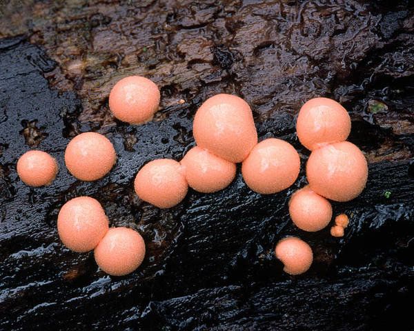 Mold Poster featuring the photograph Wolf's Milk Slime Mould by Nigel Downer