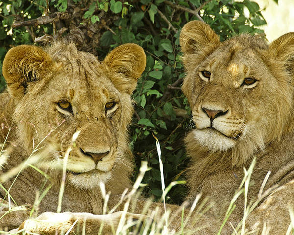 Lion Poster featuring the photograph Young Brothers by Michele Burgess