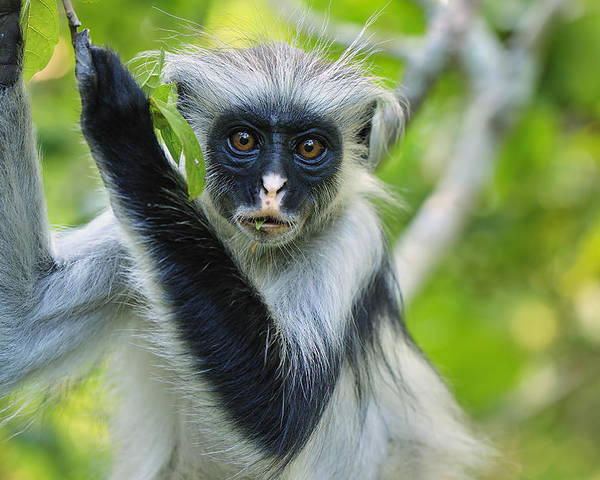 Thomas Marent Poster featuring the photograph Zanzibar Red Colobus In Tree Jozani by Thomas Marent