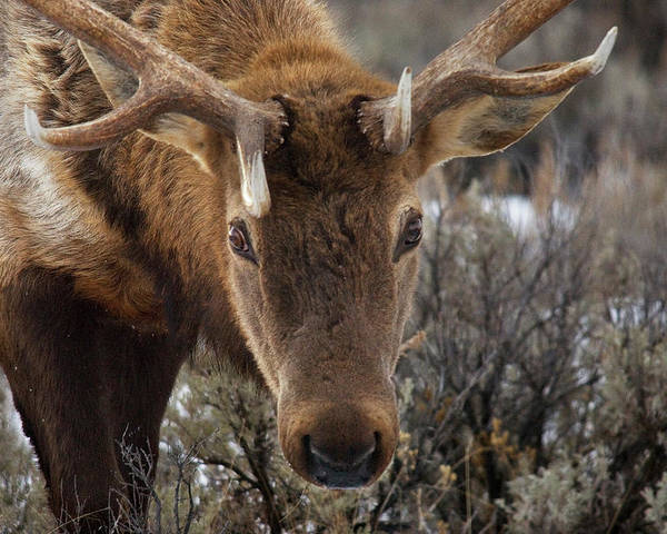 Antler Poster featuring the photograph Usa, Wyoming, Yellowstone National Park by Jaynes Gallery