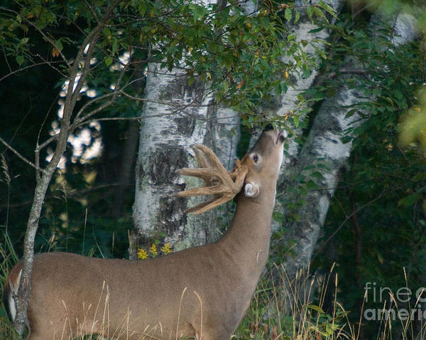 North America Poster featuring the photograph White-tailed Buck by Linda Freshwaters Arndt