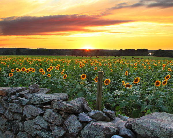 Sunflowers Poster featuring the photograph Buttonwood Farm by Andrea Galiffi