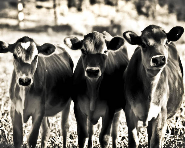 Poster featuring the photograph 3 Curious Cows by Sarah Cafaro