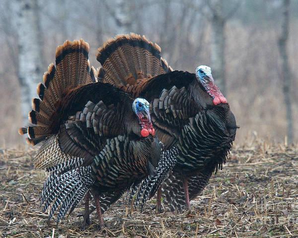Eastern Wild Turkey Poster featuring the photograph Jake Eastern Wild Turkeys by Linda Freshwaters Arndt
