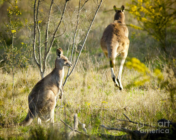 Animal Poster featuring the photograph Kangaroo by Tim Hester