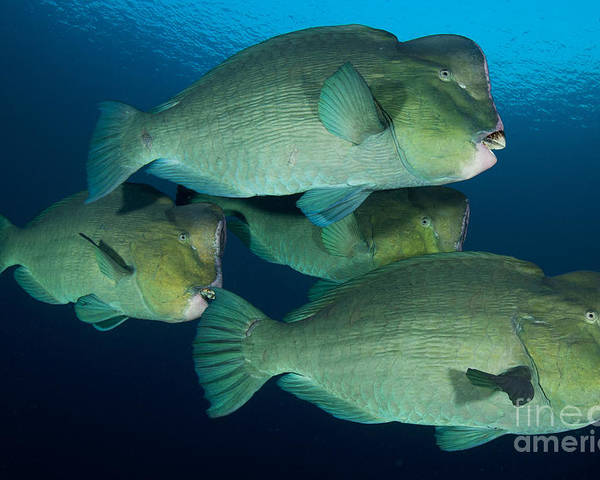 Bali Poster featuring the photograph Large School Of Bumphead Parrotfish by Steve Jones
