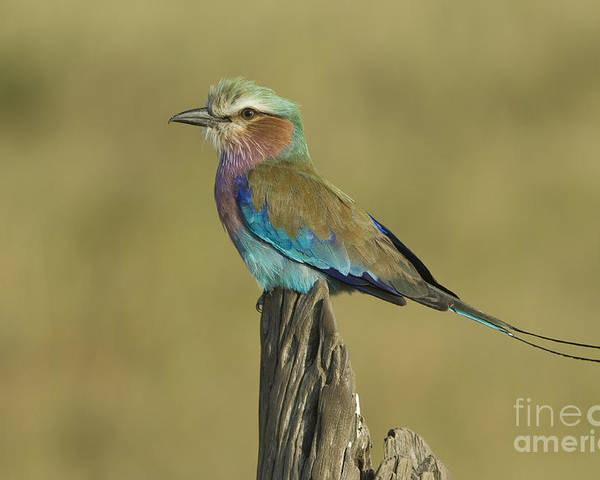 African Fauna Poster featuring the photograph Lilac-breasted Roller by John Shaw