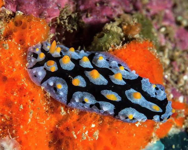Phyllidia Sp Poster featuring the photograph Nudibranch by Ethan Daniels