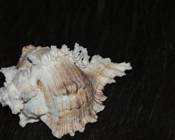 Beautiful Poster featuring the photograph Sea Shell by Ali Mohamad