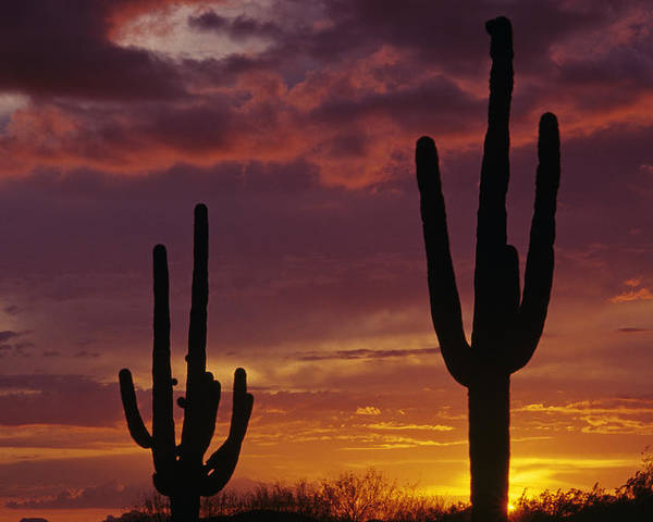 American Southwest Poster featuring the photograph Silhouetted Saguaro Cactus Sunset At Dusk Arizona State Usa by Jim Corwin