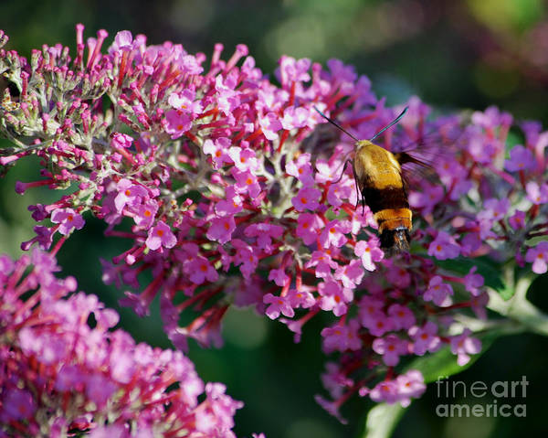 Butterfly Bush Poster featuring the photograph Snowberry Clearwing Hummingbird Moth by Mark Dodd