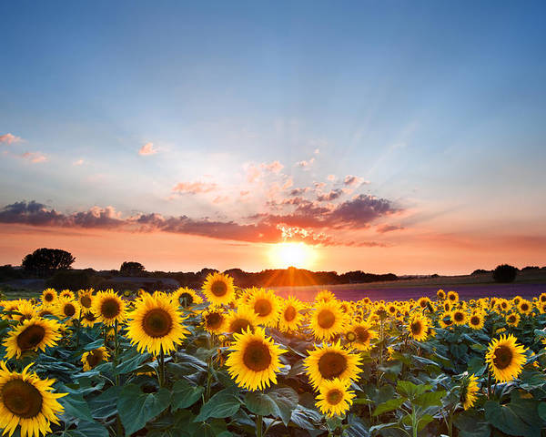 Sunflower Poster featuring the photograph Sunflower Summer Sunset Landscape With Blue Skies by Matthew Gibson