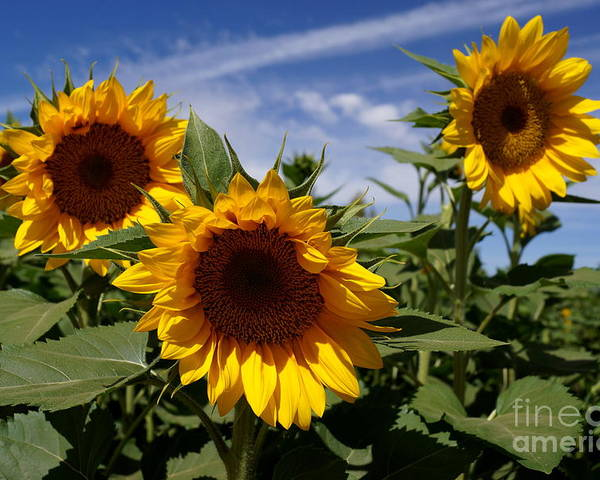 Agriculture Poster featuring the photograph 3 Sunflowers by Kerri Mortenson