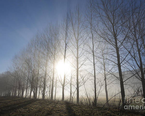 Trees Poster featuring the photograph Trees On A Foggy Field by Mats Silvan