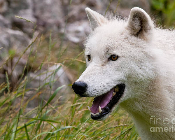 Arctic Wolf Photography Poster featuring the photograph Arctic Wolf by Wolves Only