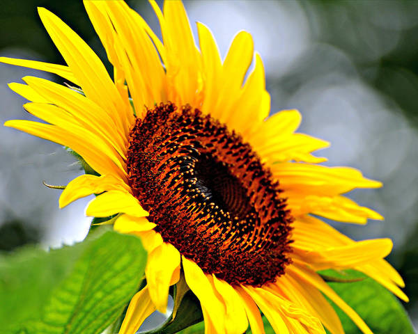 Sunflower Poster featuring the photograph 3528 by Marty Koch