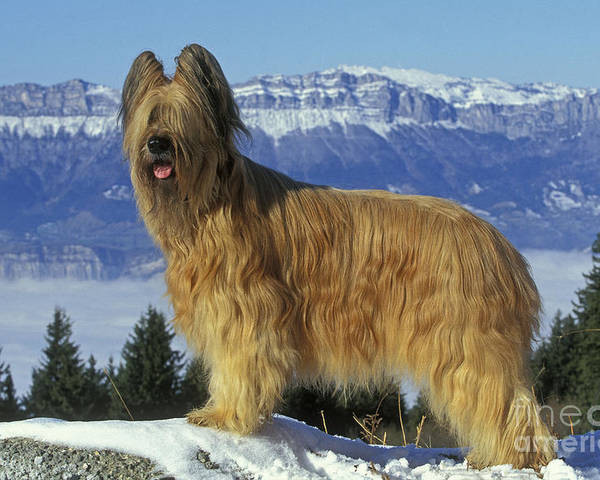 Briard Poster featuring the photograph Briard Dog by Jean-Michel Labat