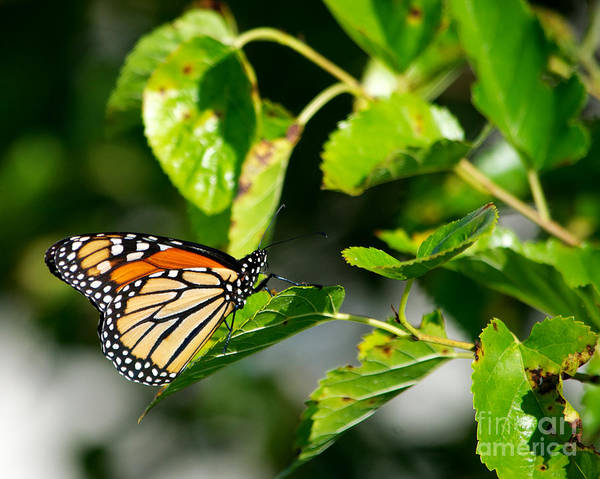 Butterfly Poster featuring the photograph Monarch Butterfly by Mark Dodd