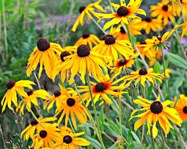 Black Eyed Susan Poster featuring the photograph 4115 by Marty Koch