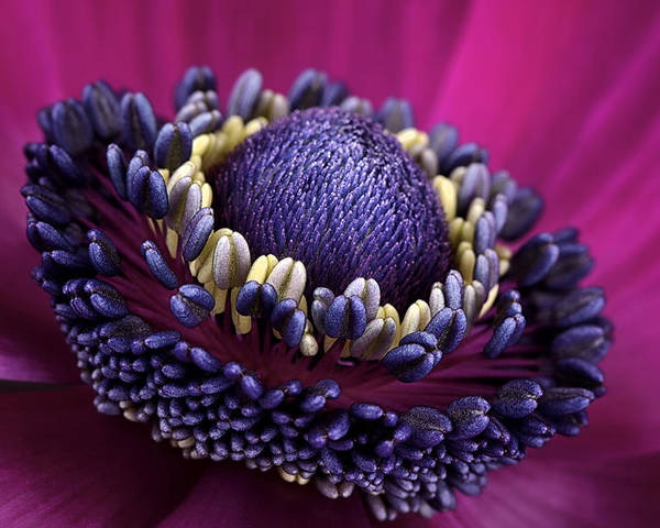 Anemone Poster featuring the photograph Anemone by Mark Johnson