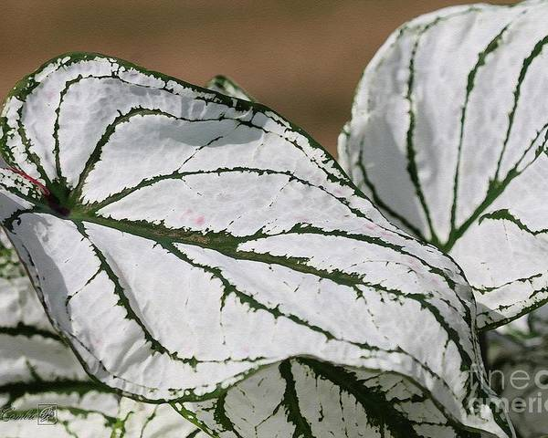 Caladium Poster featuring the painting Caladium Named White Christmas by J McCombie