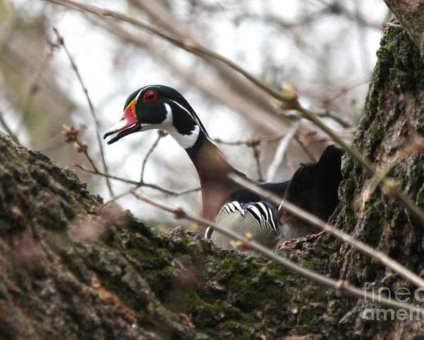 Wood Duck Poster featuring the photograph Wood Duck by Lori Tordsen