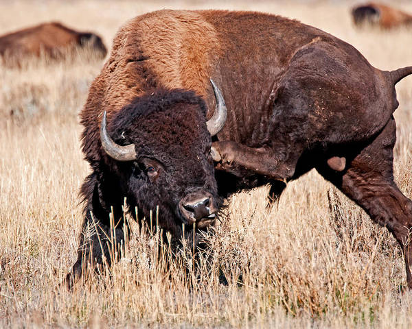Tetons Poster featuring the photograph Bison by Elijah Weber